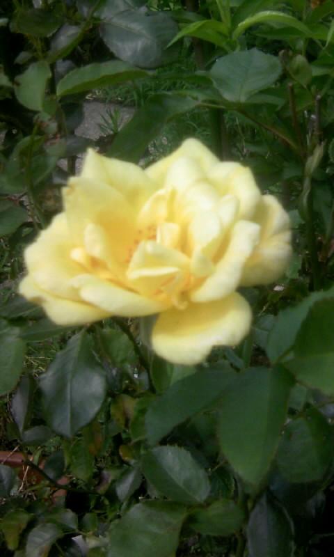 100802_113156薔薇
