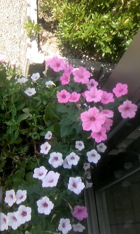 100802_122216病院の玄関の花