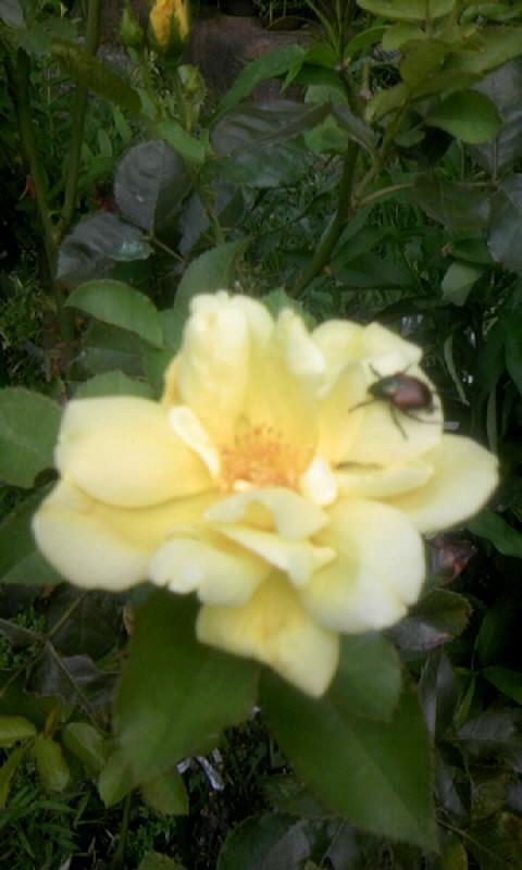 100804_101449黄色い薔薇&黄金虫