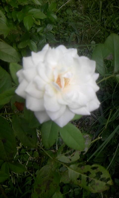 100804_101503薔薇