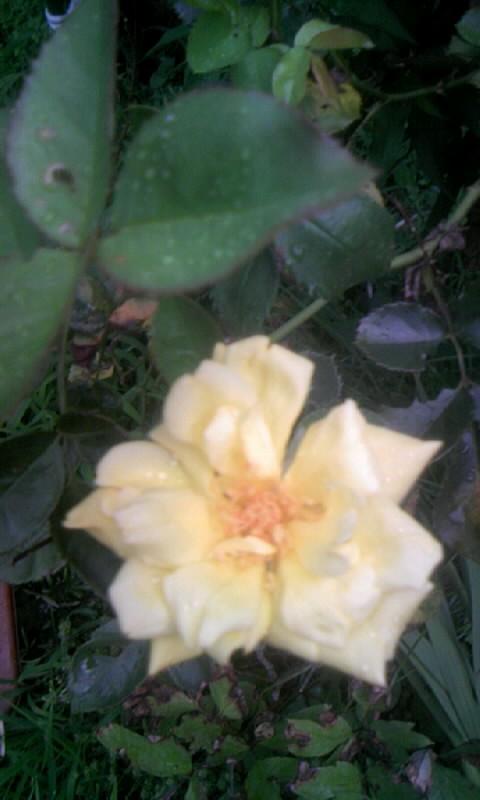 100814_061250薔薇