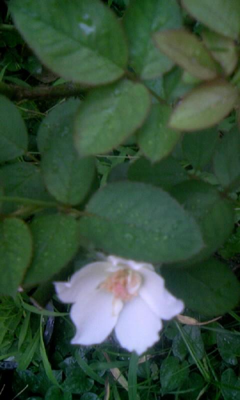 100814_061310薔薇
