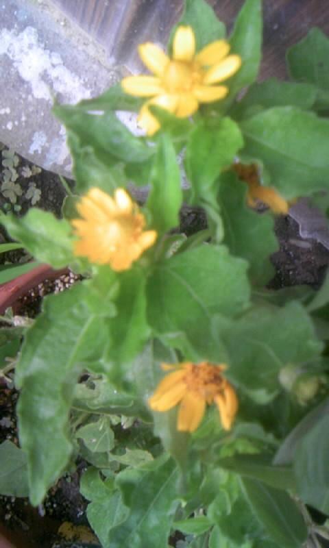 100815_062155黄色い花