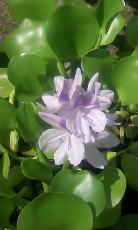 100816_134427ホテイアオイの花