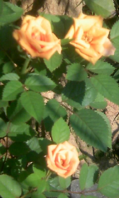 100817_080601ミニ薔薇