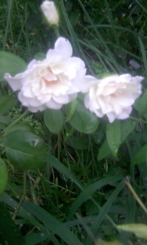 100820_062248白薔薇