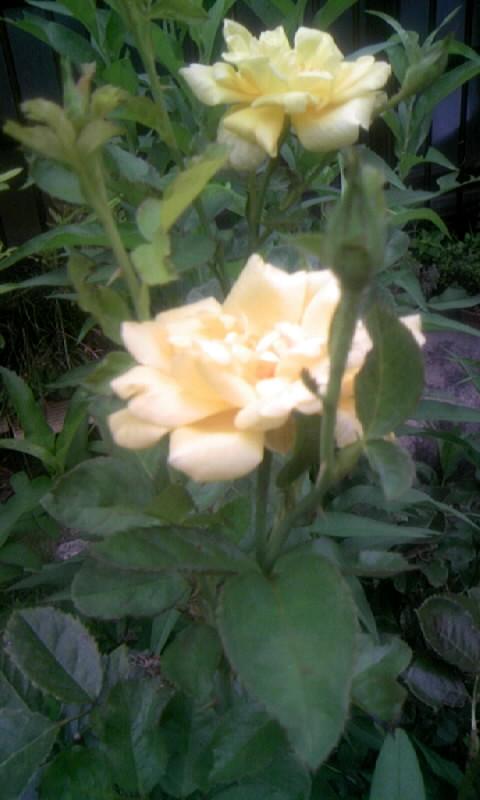 100821_060452黄色い薔薇