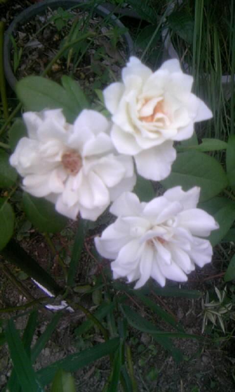 100821_060421白薔薇
