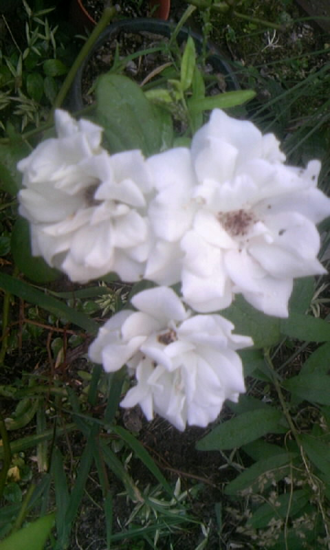 100825_061732白薔薇