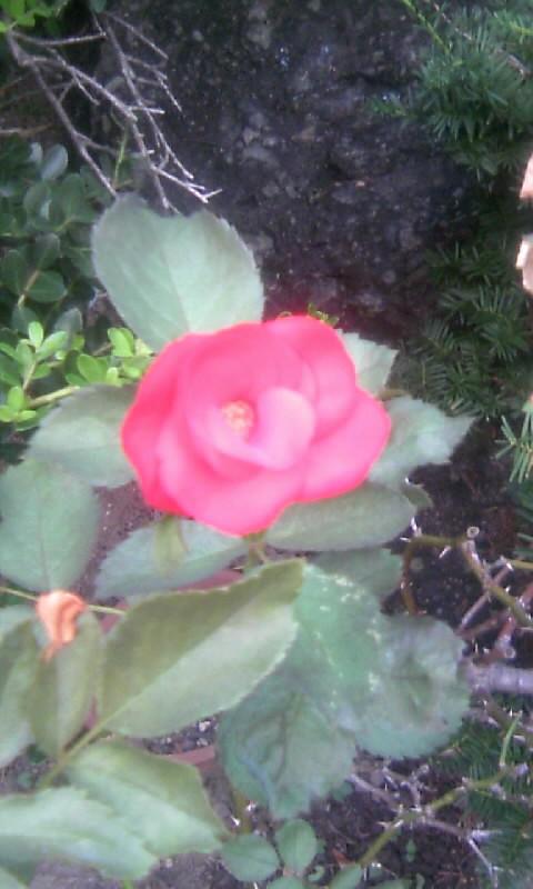 100827_060549紅い薔薇