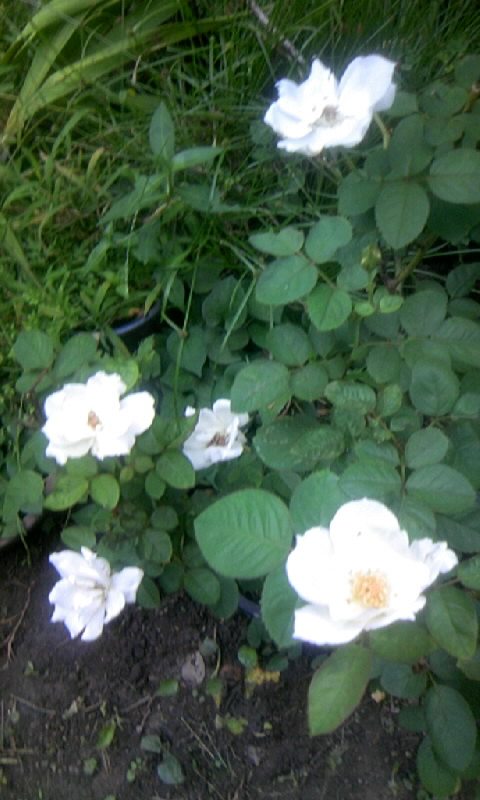 100827_060221白薔薇