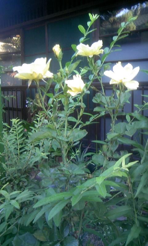 100828_061710黄色の薔薇