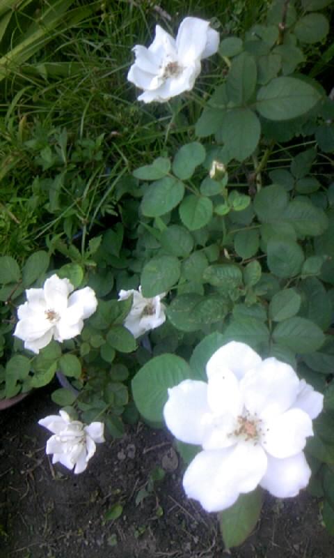 100828_061945白薔薇