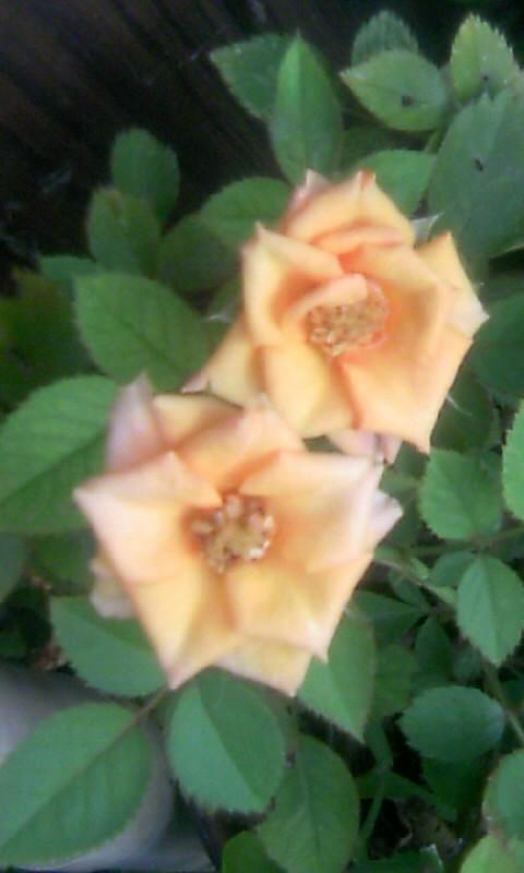 100828_062915ミニ薔薇