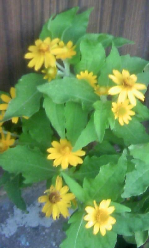 100828_062950黄色い小花