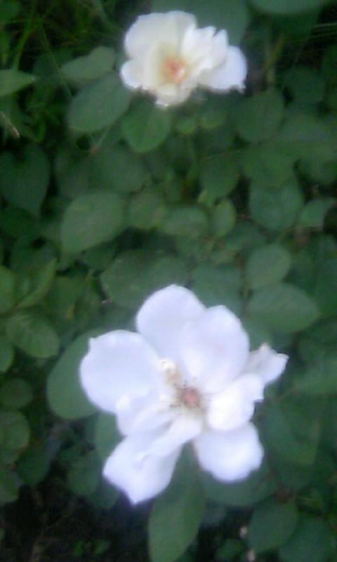 100830_053818白薔薇