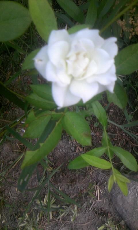 100831_054127白薔薇