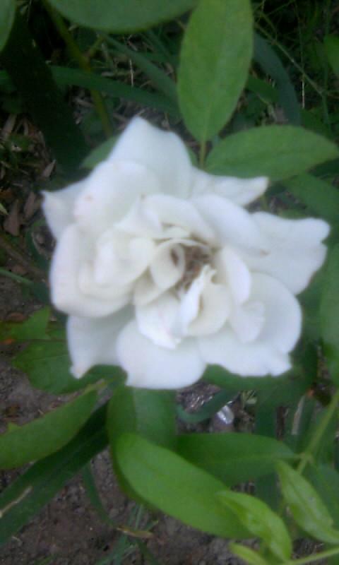 100904_054549白薔薇