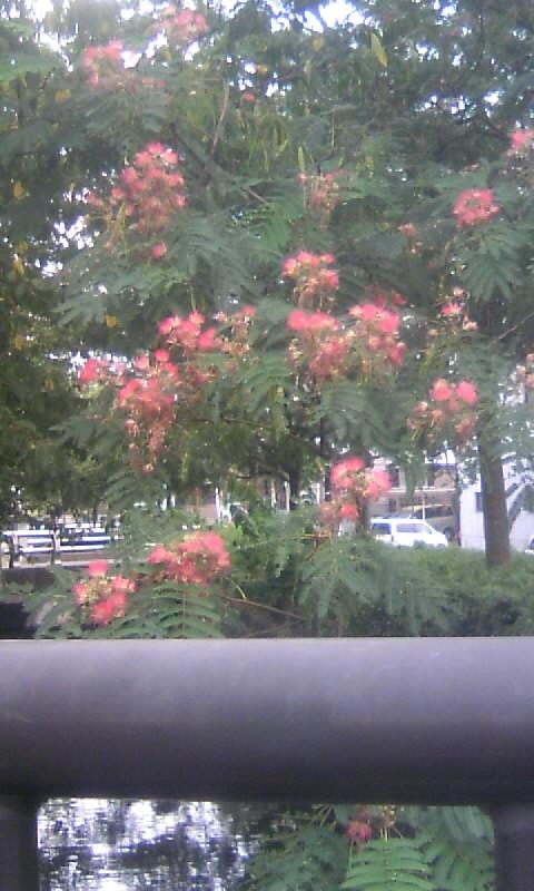 100905_163207合歓の木