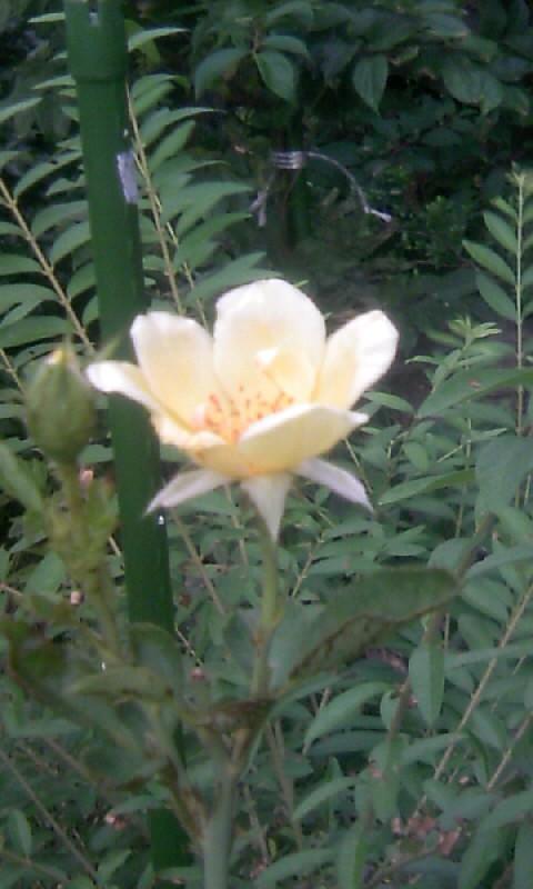 100905_170236黄色い薔薇