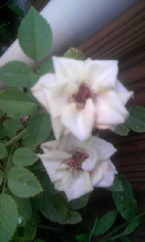 100906_060619ミニ薔薇