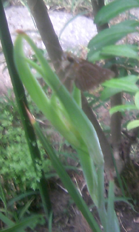 100907_061414アシダンテラの蕾に蝶