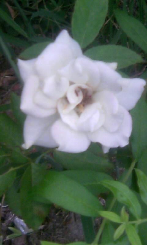 100907_061442白薔薇