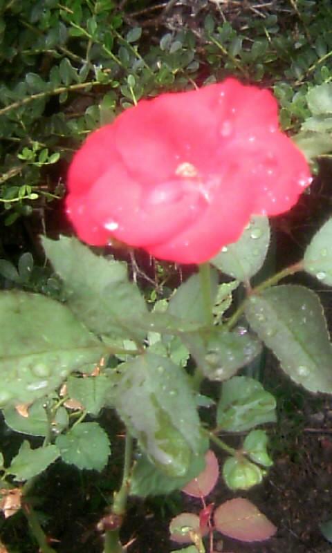 100915_125542紅い薔薇