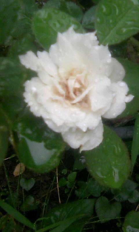 100915_125556白薔薇