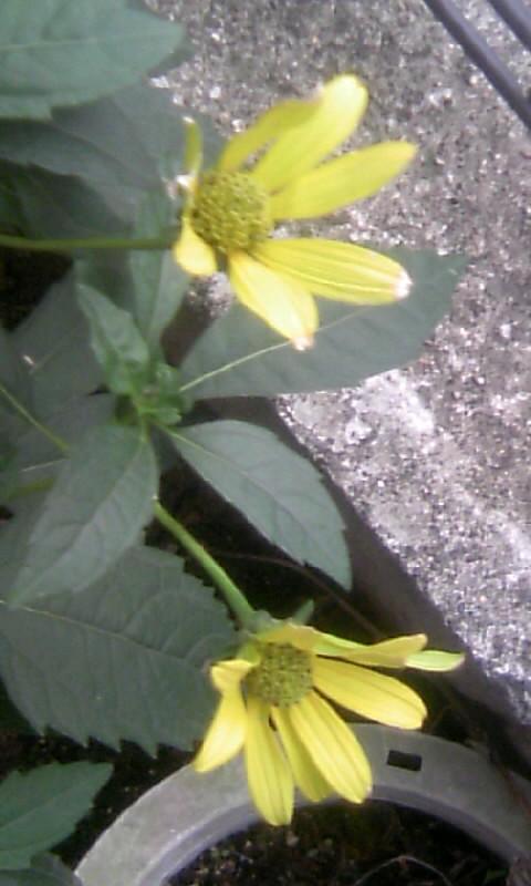 100924_061950向日葵