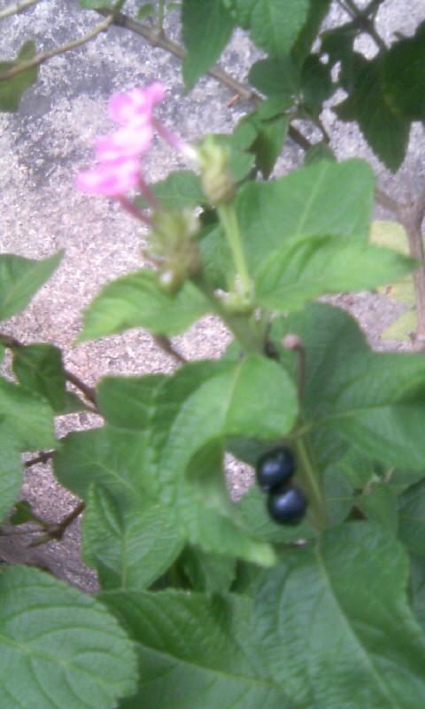 100927_151818ランタナの黒い実