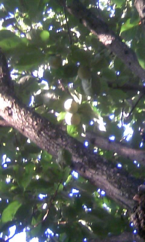 100929_072534柿の青い実