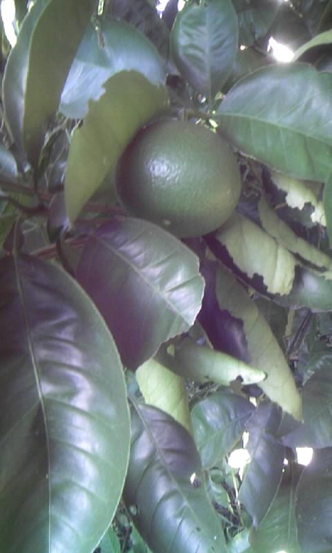 100929_072316柑橘の青い実
