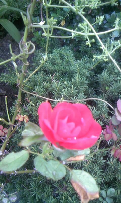 100929_065735紅い薔薇