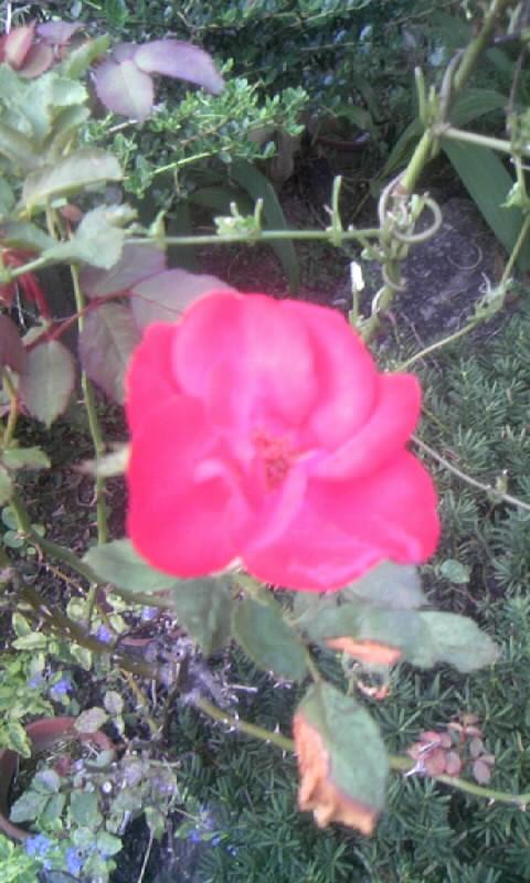 101002_164344紅い薔薇