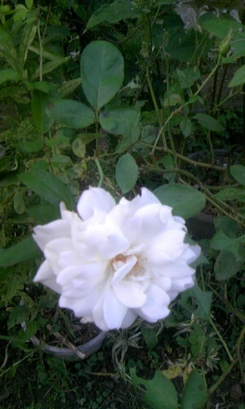 101002_164401白い薔薇