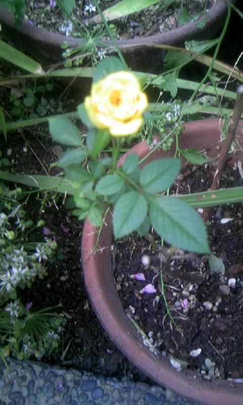 101002_165626ミニ薔薇
