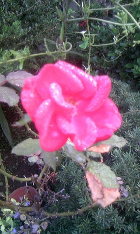 101005_065117紅い薔薇