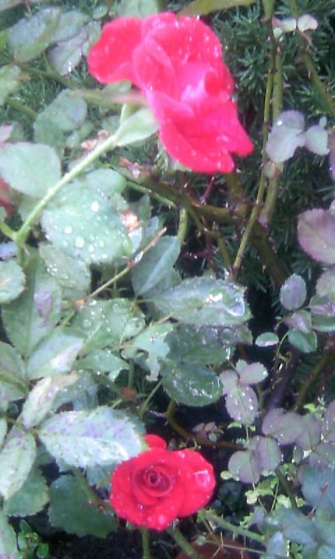 101010_065703紅い薔薇