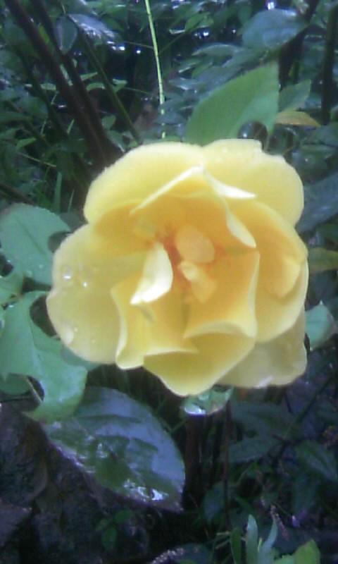 101010_071340黄色い薔薇