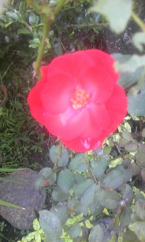 101011_080733紅い薔薇