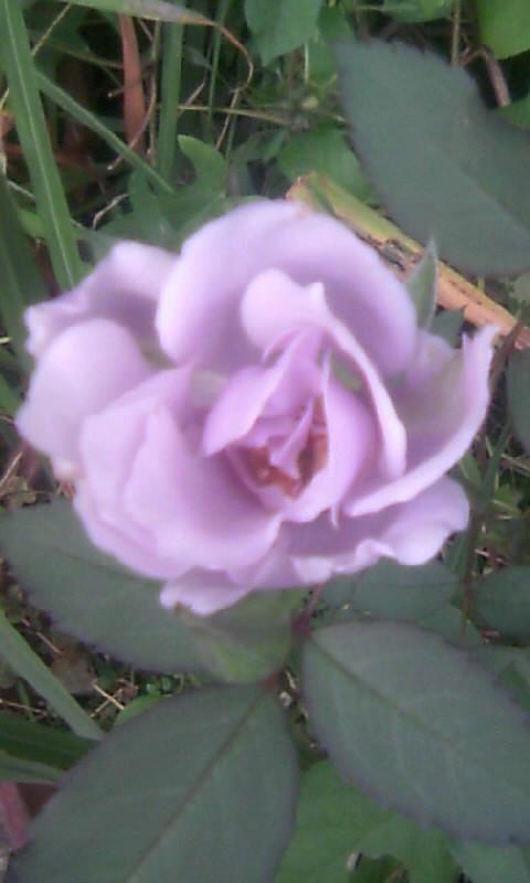 101014_065200青い薔薇