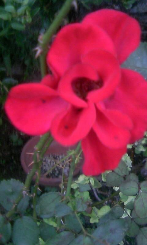 101018_061838紅い薔薇