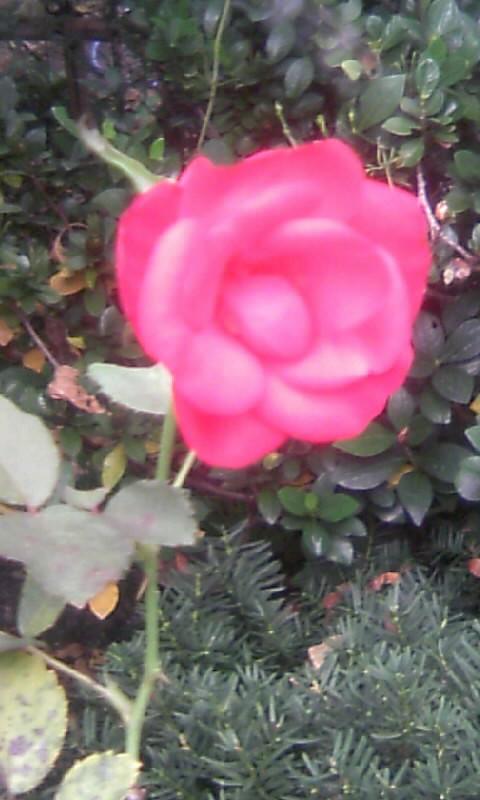 101022_161948紅い薔薇