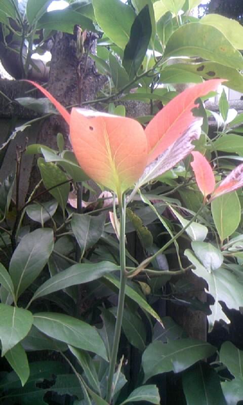 101024_091015お花のような葉