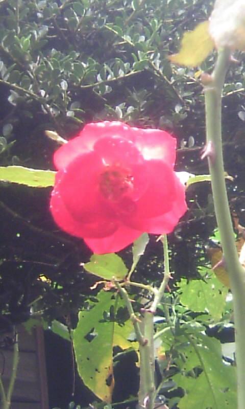 101025_100408紅い薔薇