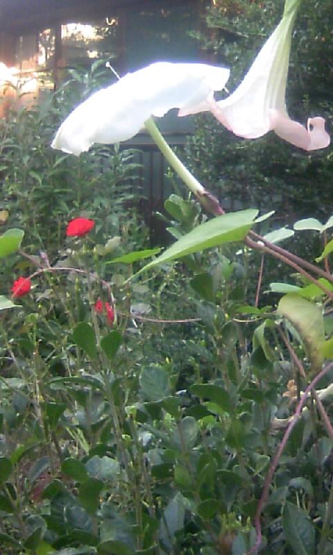 101027_072435夕顔エンジェルトランペット&紅い薔薇