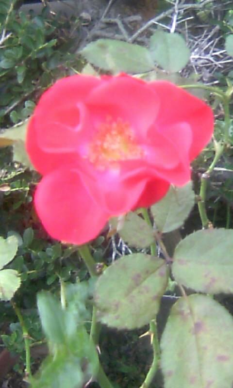 101026_162504紅い薔薇