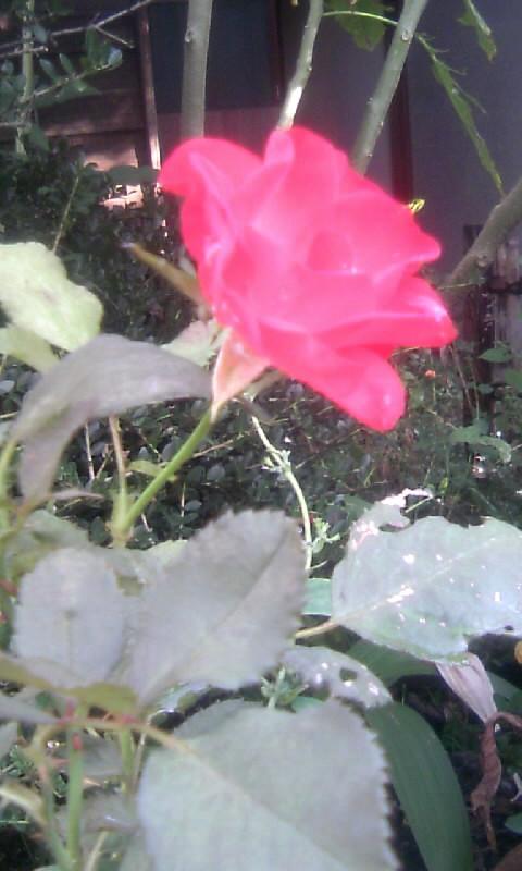 101026_081704紅い薔薇