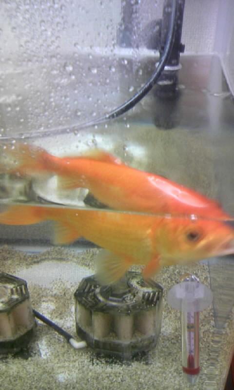101028_1114131匹金魚